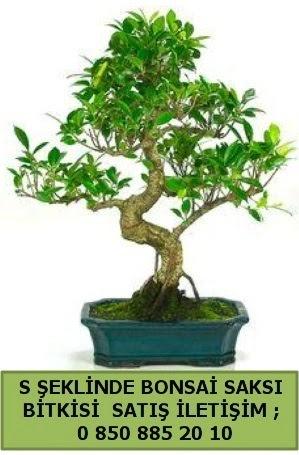 İthal S şeklinde dal eğriliği bonsai satışı  Sivas İnternetten çiçek siparişi