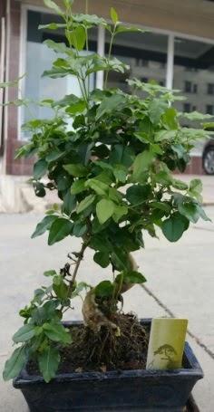 Bonsai japon ağacı saksı bitkisi  Sivas internetten çiçek satışı