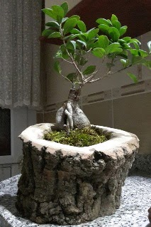Ahşap kütük içerisinde ginseng bonsai  Sivas çiçek siparişi sitesi