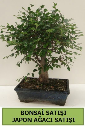 Minyatür bonsai japon ağacı satışı  Sivas online çiçekçi , çiçek siparişi