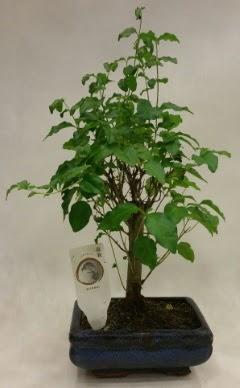 Minyatür bonsai japon ağacı satışı  Sivas çiçek gönderme sitemiz güvenlidir