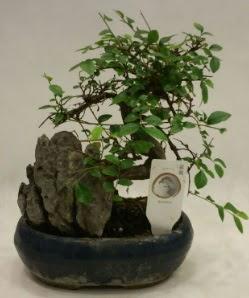 İthal 1.ci kalite bonsai japon ağacı  Sivas çiçek yolla