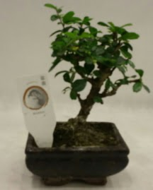 Küçük minyatür bonsai japon ağacı  Sivas İnternetten çiçek siparişi