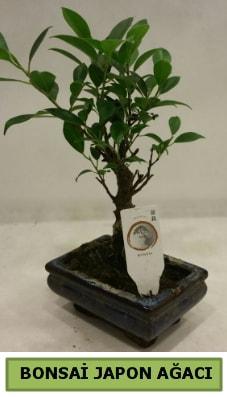 Bonsai japon ağacı saksı bitkisi  Sivas anneler günü çiçek yolla