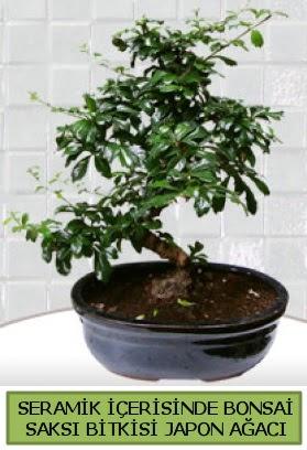 Seramik vazoda bonsai japon ağacı bitkisi  Sivas ucuz çiçek gönder