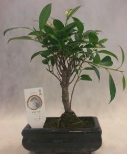 Bonsai japon ağacı bitkisi satışı  Sivas online çiçekçi , çiçek siparişi