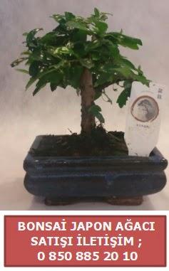 Japon ağacı minyaür bonsai satışı  Sivas çiçek yolla