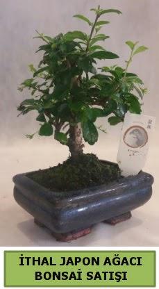 İthal japon ağacı bonsai bitkisi satışı  Sivas çiçek gönderme sitemiz güvenlidir