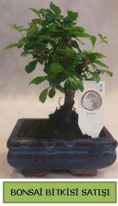 Bonsai ithal görsel minyatür japon ağacı  Sivas çiçekçi telefonları