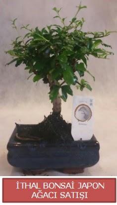 İthal küçük boy minyatür bonsai ağaç bitkisi  Sivas çiçek gönderme sitemiz güvenlidir