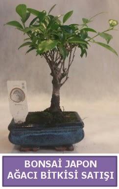 İthal Bonsai japon ağacı bitkisi satışı  Sivas yurtiçi ve yurtdışı çiçek siparişi