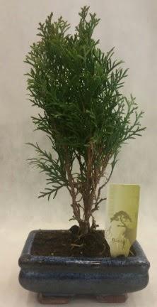 SINIRLI SAYIDA ÜRÜN Selvi Bonsai  Sivas yurtiçi ve yurtdışı çiçek siparişi