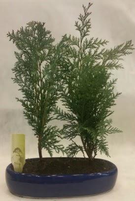 SINIRLI SAYIDA Selvi Ağacı bonsai ikili  Sivas çiçek gönderme sitemiz güvenlidir