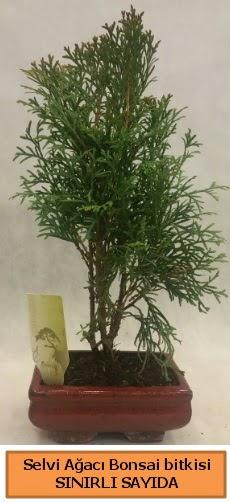 Selvi ağacı bonsai japon ağacı bitkisi  Sivas çiçek yolla