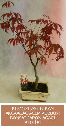 Amerikan akçaağaç Acer Rubrum bonsai  Sivas online çiçek gönderme sipariş
