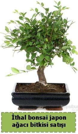 İthal bonsai saksı çiçeği Japon ağacı satışı  Sivas yurtiçi ve yurtdışı çiçek siparişi