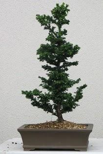Çam ağacı bonsai bitkisi satışı  Sivas çiçek gönderme sitemiz güvenlidir
