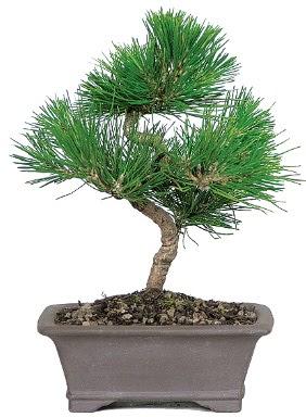 Çam ağacı bonsai japon ağacı bitkisi  Sivas İnternetten çiçek siparişi