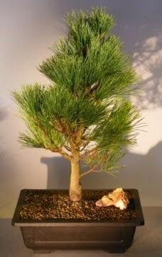 Çam ağacı japon ağacı bitkisi bonsai  Sivas çiçek gönderme sitemiz güvenlidir