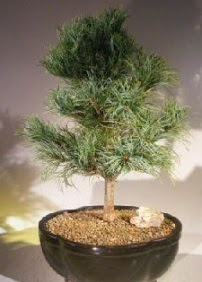 Çam ağacı bonsai bitkisi satışı  Sivas çiçekçi telefonları