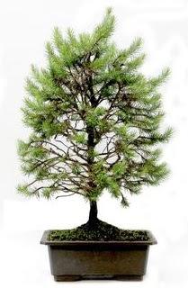 *** STOKTA YOK - Çam ağacı bonsai bitkisi satışı  Sivas çiçek siparişi vermek