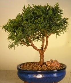 Servi çam bonsai japon ağacı bitkisi  Sivas çiçek yolla , çiçek gönder , çiçekçi