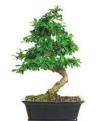 Bonsai bitkisi satışı  Sivas çiçek gönderme sitemiz güvenlidir