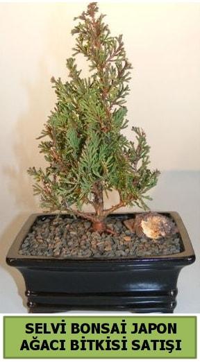 Selvi çam japon ağacı bitkisi bonsai  Sivas çiçek gönderme sitemiz güvenlidir