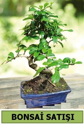 Çam bonsai japon ağacı satışı  Sivas çiçek yolla