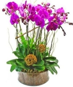 Ahşap kütükte lila mor orkide 8 li  Sivas hediye çiçek yolla