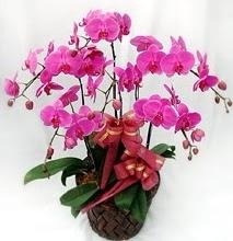 Sepet içerisinde 5 dallı lila orkide  Sivas çiçekçi telefonları