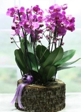 Kütük içerisinde 6 dallı mor orkide  Sivas çiçekçi telefonları