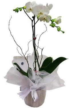 Tek dallı beyaz orkide  Sivas internetten çiçek siparişi