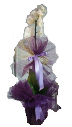 Tek dallı beyaz orkide süper kalite ithal  Sivas ucuz çiçek gönder