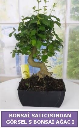 S dal eğriliği bonsai japon ağacı  Sivas çiçek yolla
