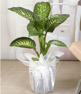 Tropik saksı çiçeği bitkisi  Sivas çiçek yolla