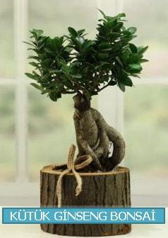 Kütük ağaç içerisinde ginseng bonsai  Sivas online çiçekçi , çiçek siparişi
