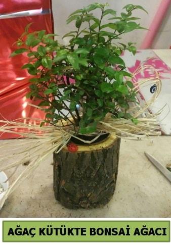 Doğal ağaç kütük içerisinde bonsai ağacı  Sivas online çiçekçi , çiçek siparişi