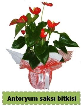 Antoryum saksı bitkisi satışı  Sivas çiçek gönderme