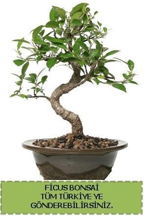 Ficus bonsai  Sivas online çiçekçi , çiçek siparişi