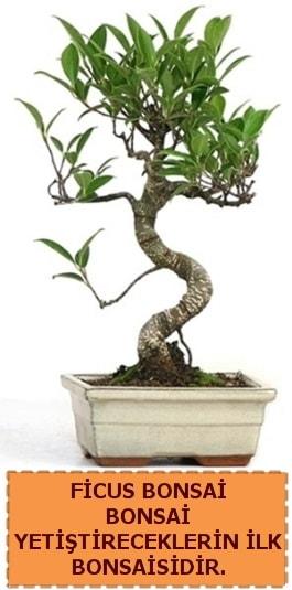 Ficus bonsai 15 ile 25 cm arasındadır  Sivas çiçek yolla , çiçek gönder , çiçekçi