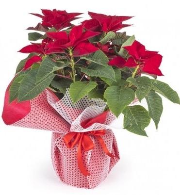 Atatürk çiçeği saksı bitkisi  Sivas online çiçekçi , çiçek siparişi