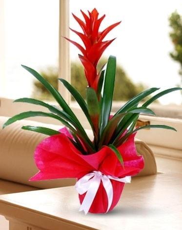 Guzmanya Saksı Çiçeği  Sivas çiçek yolla , çiçek gönder , çiçekçi