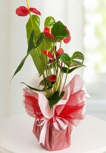 Anthurium Saksı Çiçeği  Sivas çiçek satışı