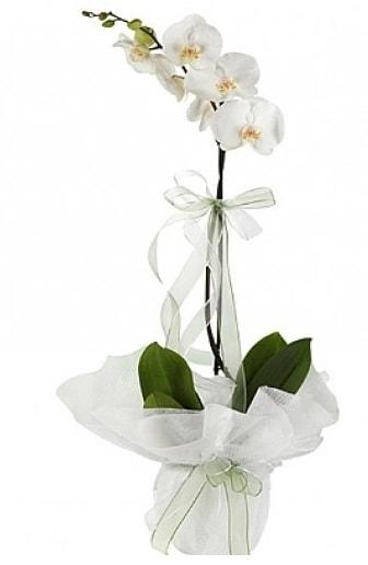 Tekli Beyaz Orkide  Sivas çiçek satışı