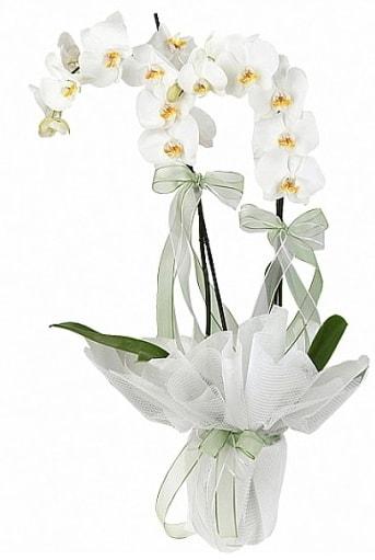 Çift Dallı Beyaz Orkide  Sivas cicekciler , cicek siparisi