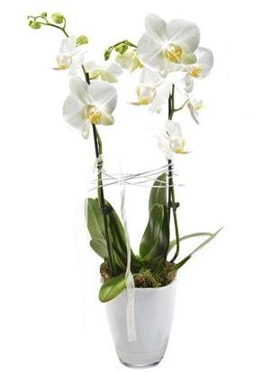 2 dallı beyaz seramik beyaz orkide saksısı  Sivas online çiçekçi , çiçek siparişi