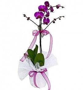 Tek dallı saksıda ithal mor orkide çiçeği  Sivas çiçekçi mağazası