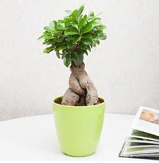 Ficus Ginseng Bonsai  Sivas cicek , cicekci