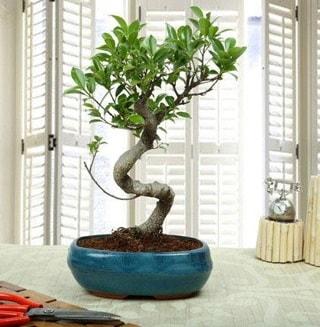 Amazing Bonsai Ficus S İthal  Sivas çiçek siparişi sitesi